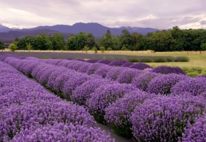 Stretches of lavender backed by woodlands and mountains