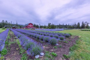 Rows of lavender stretch away toward a barn converted to a home