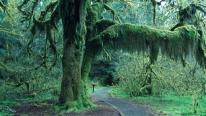 Hoh Rain Forest trees enrobed in moss