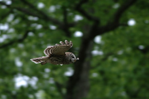 A Barred Owl on the wing