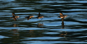 Rhinoceros Auklets in flight across the water's surface